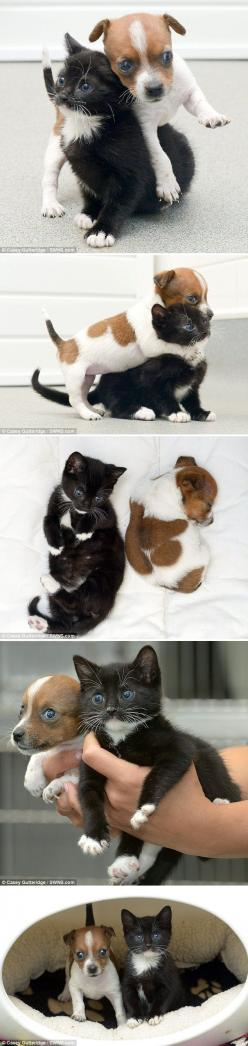 Adorable!! Kitty the Cat and Buttons the Jack Russel think they're sisters after being put together in Rescue Center.: True Friendship, Jack Russell, They Re Sisters, Jack O'Connell, Cutest Kitten, Kitty, Dog And Cat, Animal, Rescue Center