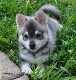 Adorable little Alaskan Klee Kai puppy relaxing on the grass.: Puppies, Kai Puppy, Alaskan Klee Kai, Animals, Dogs, Pet, Puppy Relaxing, Box, Pomsky