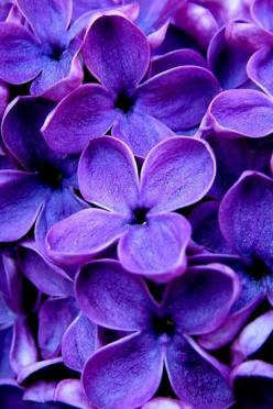 Allergy season will be in full swing into mid-fall this year. Remember these tips for keeping your allergies in check.: Purple Flowers, Beautiful, Purple Passion, Purple Lilac, Things Purple, Color Purple, Garden, Lilacs