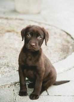Almost too cute.... chocolate brown labrador puppy: Dogs, Chocolate Labs, Chocolate Lab Puppies, Pet, Brown Labrador, Chocolate Labrador, Animal, Eye