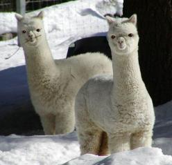 Alpaca puffs..omg these are so funny: Flames, Animals, Baby Llama, Funny, Alpacas, Baby Alpaca, Things, Photo, Adorable Animal