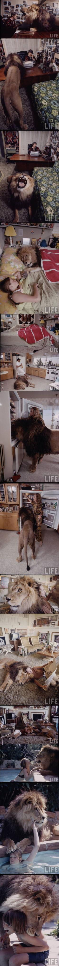 and it didn't eat them alive??  does that mean I can have a tiger? :D: Mojave Desert, Hendren Established, Animals, Cat, Melanie Griffith, Pet Lion, Dream, Shambala Preserve, Wildlife Sanctuary