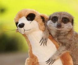 And the meerkat who fell in love with a stuffed meerkat of himself.  | The 50 Cutest Things That Ever Happened: Animals, Friends, Toy, Pet, Meerkat, Funny Animal, Smile, Stuffed Animal, Photo