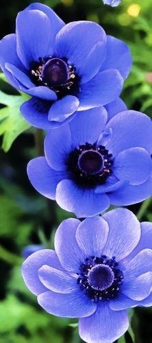 Anemone is a genus of about 120 species of flowering plants in the family Ranunculaceae, native to the temperate zones. It is closely related to Pulsatilla ('Pasque flower') and Hepatica; some botanists include both of these genera within Anemone: