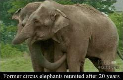 Animal hugs are best hugs (10 GIFS) : theCHIVE: Elephant Love, Reunited Elephants, Animals ❷ Elephants Aardvarks, Animals Elephants, Circus Elephants Reunited, 20 Years, Gif Animals
