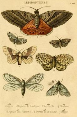 """Antique Natural History Print """"The Study of Moths"""" Woodland Forest Butterfly Moth French Vintage, zoological illustration: Antique Natural, Natural History, Forest Butterfly, Nature Illustration, French Vintage, Butterfly Moth"""