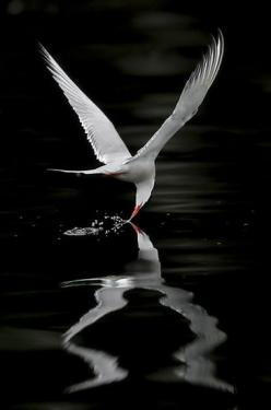 Arctic Tern - Miguel Lasa  exquisite photo of most photogenic, acrobatic aerial beauty!!!: Arctic Tern, Reflection, Animals, Wings, Beautiful Birds, Miguel Lasa, Black, Photography