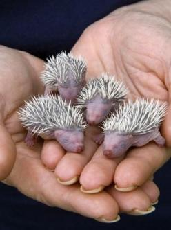 Aren't they so interesting looking?  ~ ~ ~  Photo 27 of 43 of cutest baby animals.: Babies, Baby Hedgies, Nature, Pet, Baby Hedgehogs, Baby Animals, Things