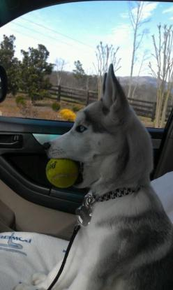 Arf arf!! Lol LUCKY I WNATED A HUSKY DOG OR A DOG LIKE DAT!!!!   HEHE LOL IT'S BALL IN IT'S MOUTH! ROFL!!!!: Funny Animals, Ball, Dogs, Pet, Funny Stuff, Funnies, Humor