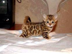 Asian Leopard, 8-weeks old.  An absolute cutie, don't you think? :): Cats, Animals, Leopard Kitten, Pet, Leopards, Kittens, Kitty