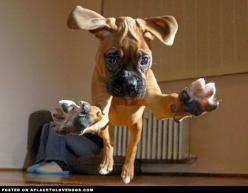 Attention, attention….. incoming Boxer puppy ready to pounce in 3, 2, 1….: Doggie, Animals, Dogs, Hug, Boxer Puppies, Pets, Boxers, Puppy