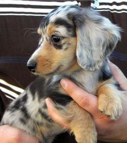 Australian Shepherd Daschund (really? Great mix!....... Actually it is probably a long haired Double Dapple Dachshund.: Animals, Dogs, Pet, Dapple Dachshund, Dappled Dachshund, Dapple Doxie, Doxies, Puppy
