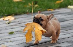 awww the leaf is as big as this little guy: Animals, Dogs, So Cute, Funny, Frenchbulldog, Puppy, Leaves