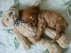 awwww!: Animals, Puppies, Sweet, Dogs, Teddybear, Teddy Bears, So Cute, Pet, Puppys