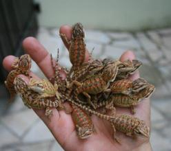 baby bearded dragons.. Possibly a new addition to our growing family!!: Bearded Dragons Awww, Baby Beard Dragon, Baby Beardies Sooo, Bearded Dragons Wow, Dragons Lizards, Baby Bearded Dragons, Bearded Dragons ️, Animals Lizards, Lizards Reptiles