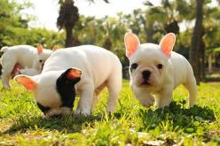 Baby frenchies!!!  Plus, the one sniffing the grass is a little frenchie puppy version of Bina.: Animals, French Bulldogs, Pet, Frenchbulldogs, Puppys, Baby, Frenchie, French Bulldog Puppies
