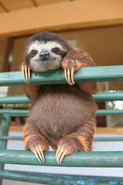 Baby sloth: Baby Sloth, Sloths, Animals, Creature, So Cute, Pet, Babysloth, Funny, Things