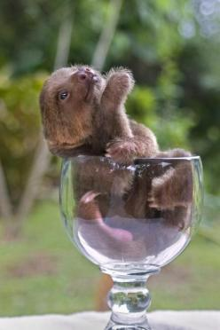 baby sloth <3  tHERE ARE LOVELY ANIMALS FOR THE KITTAH-ALLERGIC AND A WOMAN WHO WANTS A CHILD CANNOT COHABITATE WITH A KITTAH.  THE FECES OF A KITTAH CAUSE BIRTH DEFECTS.  PLACE YOUR KITAH AND ASK YOU VET TO HELPYOU.  HEDGEHOGS ARE SWEET BUT WHERE?  GI