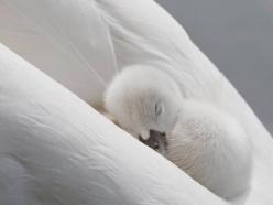 Baby swan asleep in mommy's warm feathers.: Animals, Sweet, Beautiful, White, Baby Swan, Birds, Photo, Babyswan