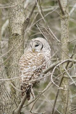 Barred Owl by Gary Yankech: Photos, Photography From, Hootie Birds