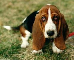 Basset Hound: Hound Dog, Face, Animals, Dogs, Puppy, Bassethound, Eye