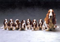 Basset Hounds ( how did they get them to sit still?) A D O R A B L E ! ! ! !: Basset Hounds Dogs, Bassett Hound Puppy, Hound Dog, Basset Hound Puppies, Basset Hound Puppy, Basset Hound Plus, Animal, Bassett Hound Puppies