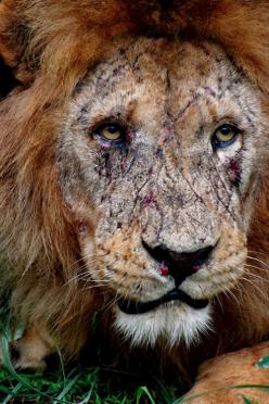 Battle scars, the face of a true King.: Wild, Animals, Big Cats, Faces, Nature, The Face, True King, Lions