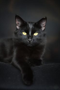 Beautiful black cat. And don't forget the gorgeous eyes! #BeautifulCat @PetPremium Pet Insurance   Click for tips & tricks to keep your cat beautiful!: Animals, Black Beauty, Black Cats, Pet, Beautiful Black, Blackcats, Pretty Kitty, Eye