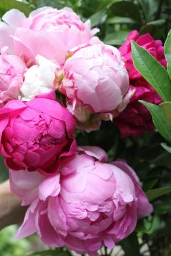 Beautiful Peonies always prompt thoughts of my mom - they were her favorite flower and she lovingly tended her peonie bushes every year.: Rose, Favorite Flowers, Gardens, Beautiful Flowers, Bloom, Pink Peonies, Flower