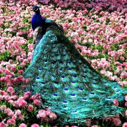 beautiful, this incredible peacock inspires me beyond words.: Animals, Peacocks, Pavo Real, Nature, Photo, Birds, Flower, Beautiful Peacock
