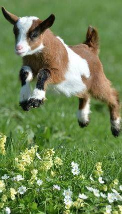 Because I'm Happy...: Farm Animals, Bit Country, Happy Baby, Country Living, Country Life, Happy Goat, Jumping Goat, Baby Goats