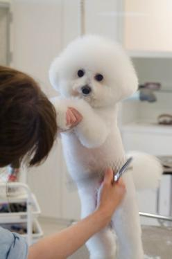 Bichon | Flickr - Photo Sharing!: Animals Dogs Bichons, Flickr, Bichon Frise, Photo Sharing, Bichons Pets, Bichon Grooming, Bichon Hair, Grooming Dog