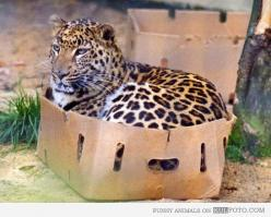 """big cat, small cat...every """"cat"""" loves a cardboard box. doesn't it make you smile.: Fit, Animals, Big Cats, Bigcats, Cat Love, Boxes, Funny, Kitty, Leopard"""