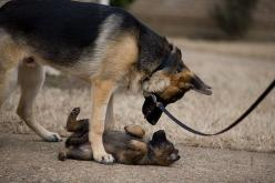 Big german shepherd standing over a little german shepherd: Germanshepherd, Animals, German Shepards, Dogs, Pets, Funny, German Shepherds, Puppy