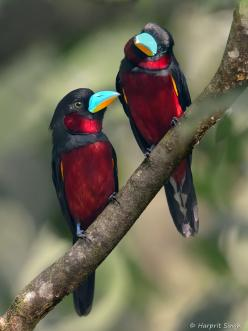 Black and Red Broadbill Pair by Harprit Singh, via 500px: Animals, Harprit Singh, Color, Red Broadbills, Broadbill Pair, Beautiful Birds, Black And Red Broadbill, Photo
