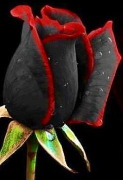 Black and red rose   amazing: Challenge, Nature, Color, Black Red Rose, Red Roses, Rose Black, Beauty, Flower, Black Roses
