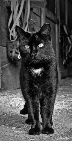 Black Barn Cat ~ this is a spitting image of my former kitty. Just add a fleck in his eye and it would be him! Makes me miss him so much.: Kitty Cats, Black And White Photo, Black Cats, Children, Chat, Black And White Cats, Blackcat