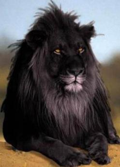 black lion extinct 1000 years ago by the Romans at the coliseum. If it was extinct 1000 years ago how did you get a picture with no camera: Animals Extinct, Black Lions, Extinct Animal, Lion Pictures, Black Lion Beautiful, Beautiful Black, Awsome Animals