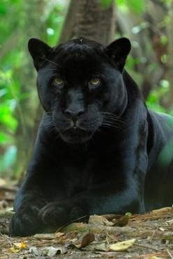 black-panther-iphone-hd-wallpaper-iphonewallpaperhi.com-149-320x480.jpg 320×480 pixels: Animals, Big Cats, Beautiful Animal, Black Panthers, Bigcats, Wild Cats, Photo, Black Cat