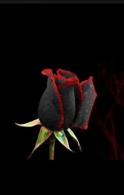 Black rose from Turkey: Nature, Beautiful Flowers, Red Roses, Beauty, Beautiful Rose, Garden, Black Roses