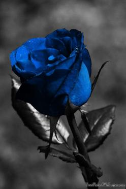 Black Rose Meaning   Meaning of Different Colors of Roses: Black Rose, Beautiful Blue, Colors, Art, Wallpaper, Color Splash, Flowers, Blue Roses