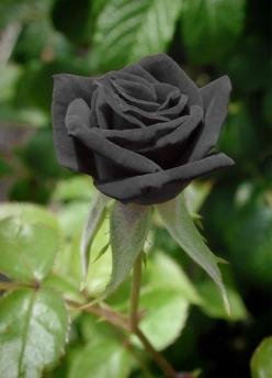 Black roses from Halfeti, Turkey. The black rose gets it's color from high mineral content in the water and soil found near the Euphrates River in this Turkish village.: Google, Beautiful Roses, Mineral, Color, Black Flowers, Beautiful Flowers, Pink,