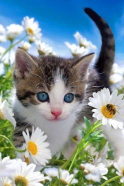 Blue-eyed cutie, daisies and the bee • photo: Tom Pingel on Shutterstock http://www.shutterstock.com/gallery-573553p1.html: Sweet, Adorable Animals, Kitty Kitty, Blue Eyes, Cats And Kittens, Baby, Cats Kittens, Cute Kittens, Blue Eyed Cutie