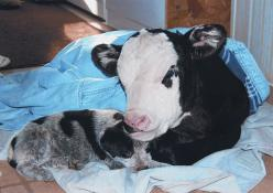 Blue Heeler puppy with calf. Best cow dogs ever. My mamaw had Blue Heelers the entire time I was growing up always males and always named ROWDY! They are great herding dogs extreamly smart and loyal.: Blue Heeler Puppy, Cow Dog, Australian Cattle, Farm Li