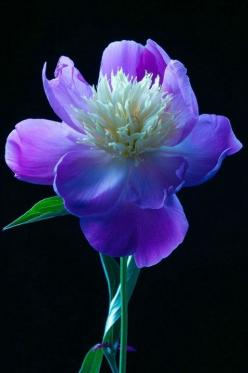 ~~Blue Peony by Amalia Elena Veralli~~: Blue, Purple Flowers, Beautiful Flowers, Gardens, Bloom, Floral Arrangement, Flowers, Peonies