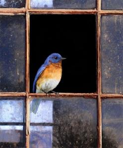 Bluebird of Happiness: Bluebirds, Windows, Blue Birds, Christopher Vest, Animal