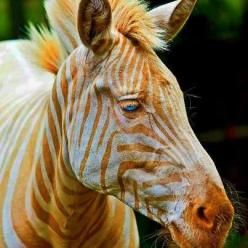 Born in Hawaii, Zoe is the only known captive golden zebra in existence. WoW... what a beautiful creature!!!: Animals, Beautiful, Blue Eyes, Zoe, Zebras