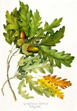 botanical illustrations oak - Google Search: Scientific Illustration, Botanical Illustrations Oak, Oak Leaves, Oak Leaf, Botanical Drawings, Botany, Google Search