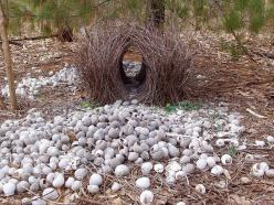 Bower Bird Nest by rupert steggles aka helgi: Bower birds are known for their unique courtship behavior. A male will build and elaborately decorate (with hundreds of sticks and colored objects he has spent hours collecting and arranging ) a  'bower&#3