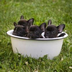 Bowl O' frenchies.... OMG, Can you say cute?!?!: Bowl, Animals, French Bulldogs, Pet, Frenchbulldogs, Puppys, Puppy, Baby